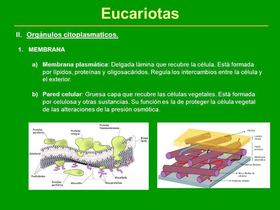 Eucariotas 1.MEMBRANA a)Membrana plasmática: Delgada lámina que recubre la célula. Está formada por lípidos, proteínas y oligosacáridos. Regula los in