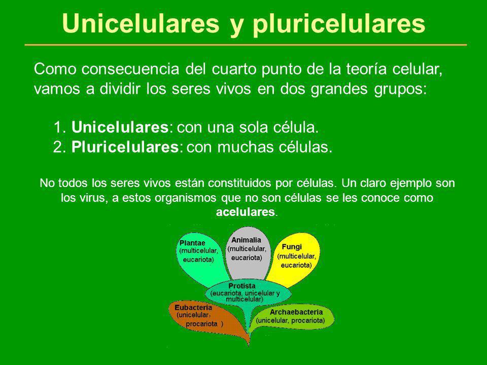 Unicelulares y pluricelulares Como consecuencia del cuarto punto de la teoría celular, vamos a dividir los seres vivos en dos grandes grupos: 1. Unice