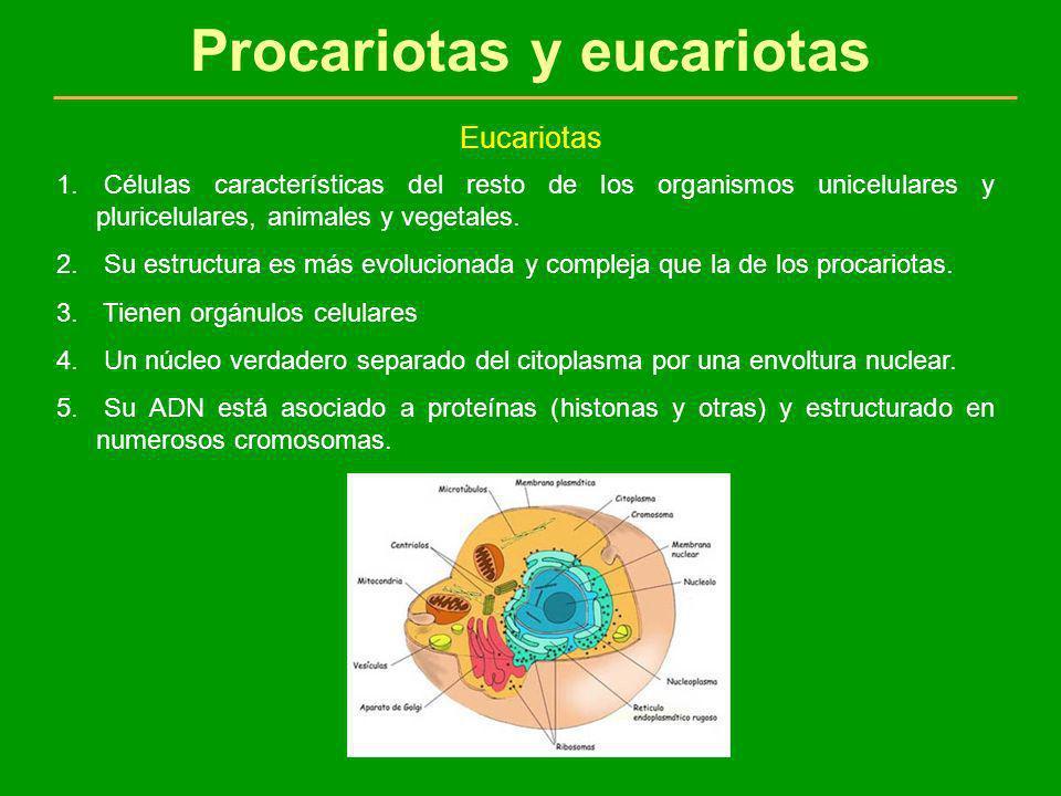 Procariotas y eucariotas Eucariotas 1. Células características del resto de los organismos unicelulares y pluricelulares, animales y vegetales. 2. Su