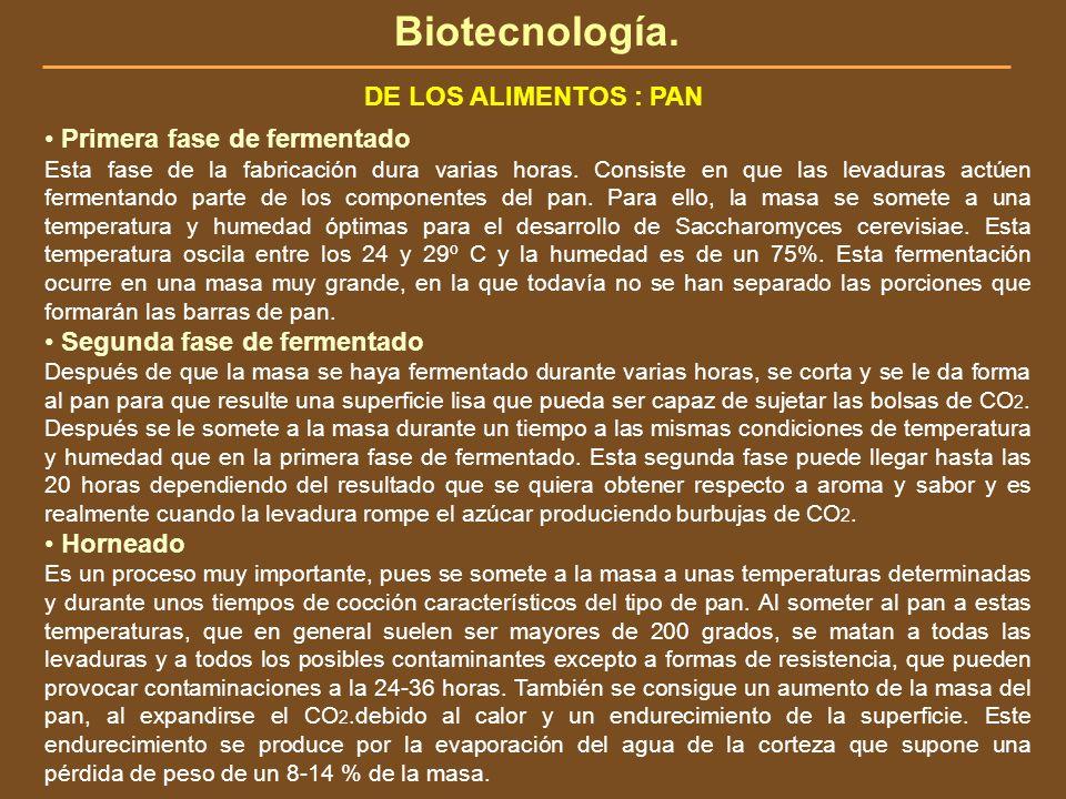 Biotecnología. DE LOS ALIMENTOS : PAN Primera fase de fermentado Esta fase de la fabricación dura varias horas. Consiste en que las levaduras actúen f