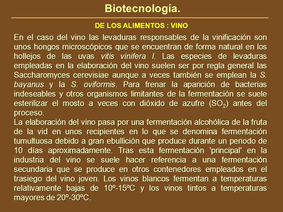 Biotecnología. DE LOS ALIMENTOS : VINO En el caso del vino las levaduras responsables de la vinificación son unos hongos microscópicos que se encuentr