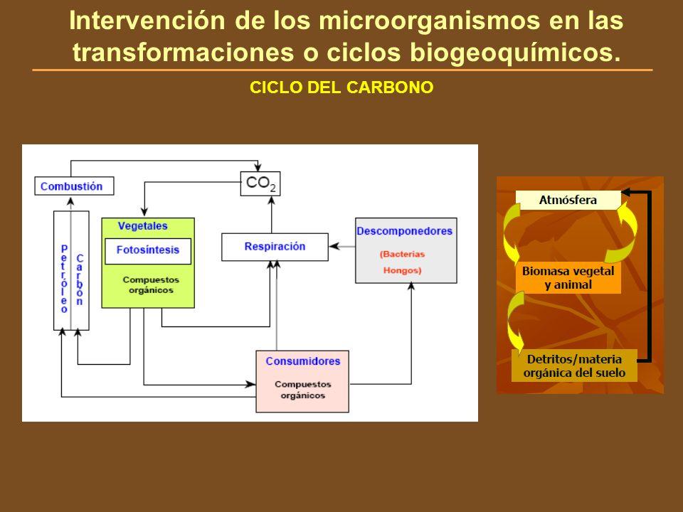 CICLO DEL CARBONO Intervención de los microorganismos en las transformaciones o ciclos biogeoquímicos.