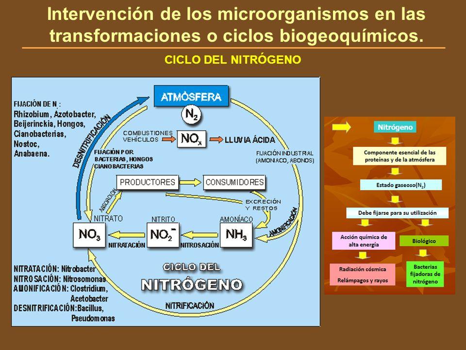 CICLO DEL NITRÓGENO Intervención de los microorganismos en las transformaciones o ciclos biogeoquímicos.