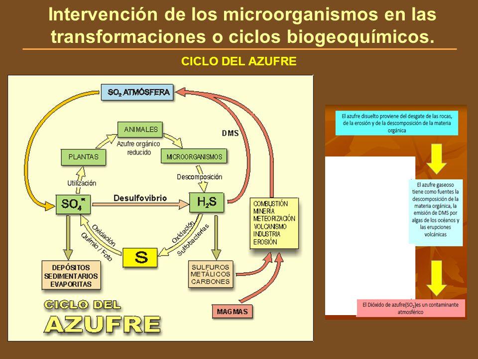 CICLO DEL AZUFRE Intervención de los microorganismos en las transformaciones o ciclos biogeoquímicos.