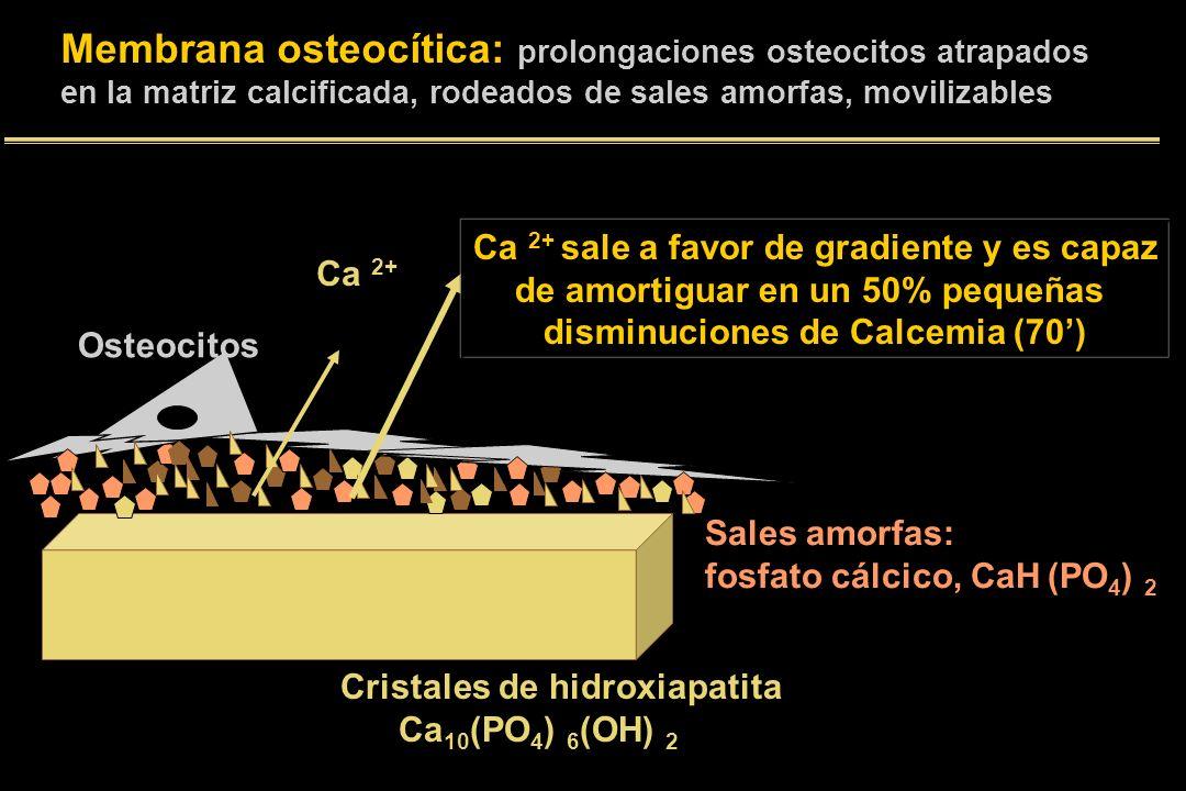 Cristales de hidroxiapatita Ca 10 (PO 4 ) 6 (OH) 2 Sales amorfas: fosfato cálcico, CaH (PO 4 ) 2 Osteocitos Ca 2+ sale a favor de gradiente y es capaz