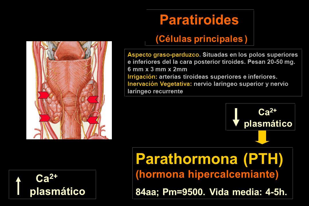 Paratiroides (Células principales ) Aspecto graso-parduzco. Situadas en los polos superiores e inferiores del la cara posterior tiroides. Pesan 20-50
