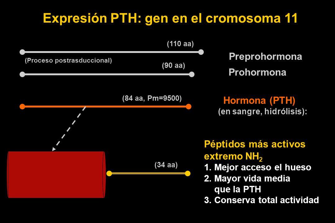 Preprohormona Prohormona Hormona (PTH) (en sangre, hidrólisis): Péptidos más activos extremo NH 2 1. Mejor acceso el hueso 2. Mayor vida media que la