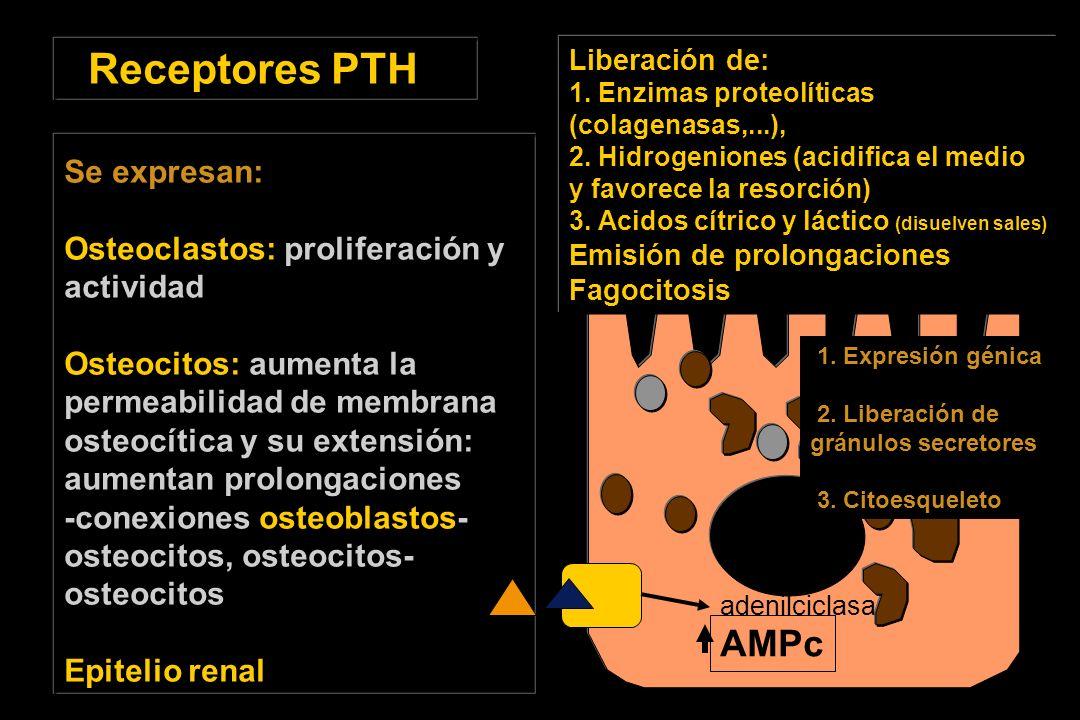 Receptores PTH Se expresan: Osteoclastos: proliferación y actividad Osteocitos: aumenta la permeabilidad de membrana osteocítica y su extensión: aumentan prolongaciones -conexiones osteoblastos- osteocitos, osteocitos- osteocitos Epitelio renal AMPc Liberación de: 1.