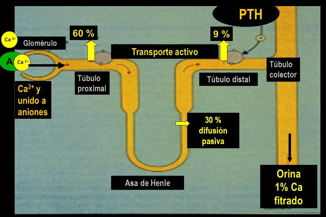 Túbulo distal Túbulo proximal Orina 1% Ca fitrado 30 % difusión pasiva Asa de Henle Glomérulo 60 % 9 % Túbulo colector Transporte activo An Ca 2+ PTH Ca 2+ y unido a aniones