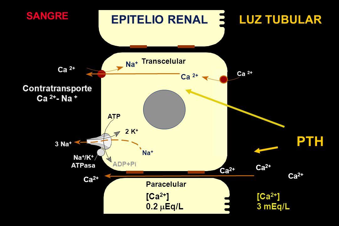 Ca 2+ SANGRE EPITELIO RENALLUZ TUBULAR Contratransporte Ca 2+ - Na + 3 Na + Na + [Ca 2+ ] 0.2 Eq/L [Ca 2+ ] 3 mEq/L Na + 2 K + Na + /K + ATPasa ATP ADP+P i Ca 2+ Paracelular Transcelular PTH Ca 2+