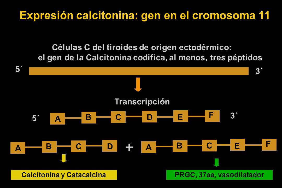 Expresión calcitonina: gen en el cromosoma 11 Células C del tiroides de origen ectodérmico: el gen de la Calcitonina codifica, al menos, tres péptidos 5´ 3´ Transcripción A DCBE F 3´ 5´ A DCB C A B E F Calcitonina y CatacalcinaPRGC, 37aa, vasodilatador +