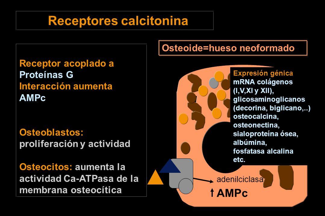 Receptores calcitonina Receptor acoplado a Proteínas G Interacción aumenta AMPc Osteoblastos: proliferación y actividad Osteocitos: aumenta la actividad Ca-ATPasa de la membrana osteocítica AMPc Osteoide=hueso neoformado adenilciclasa Expresión génica mRNA colágenos (I,V,XI y XII), glicosaminoglicanos (decorina, biglicano,..) osteocalcina, osteonectina, sialoproteína ósea, albúmina, fosfatasa alcalina etc.
