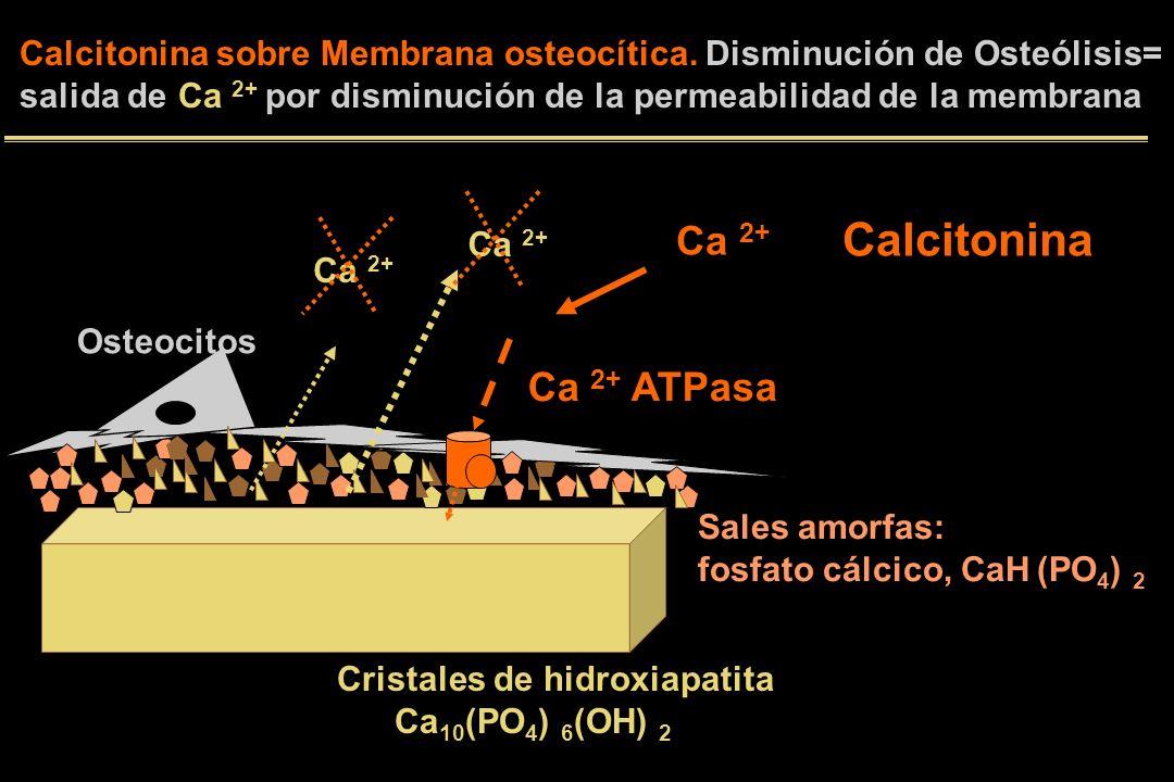 Cristales de hidroxiapatita Ca 10 (PO 4 ) 6 (OH) 2 Sales amorfas: fosfato cálcico, CaH (PO 4 ) 2 Osteocitos Ca 2+ ATPasa Ca 2+ Calcitonina sobre Membrana osteocítica.