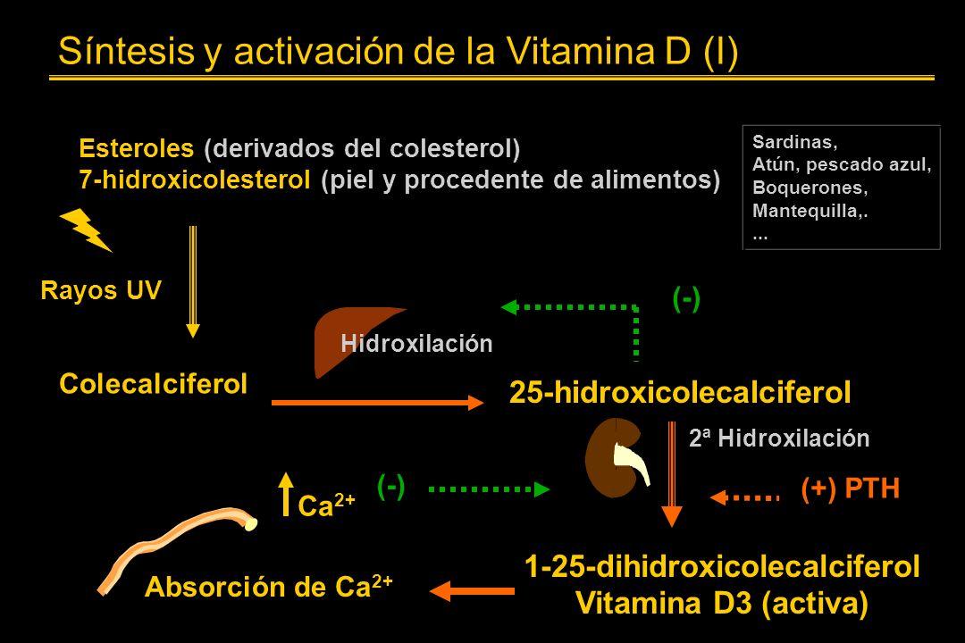 Síntesis y activación de la Vitamina D (I) Esteroles (derivados del colesterol) 7-hidroxicolesterol (piel y procedente de alimentos) Sardinas, Atún, pescado azul, Boquerones, Mantequilla,....