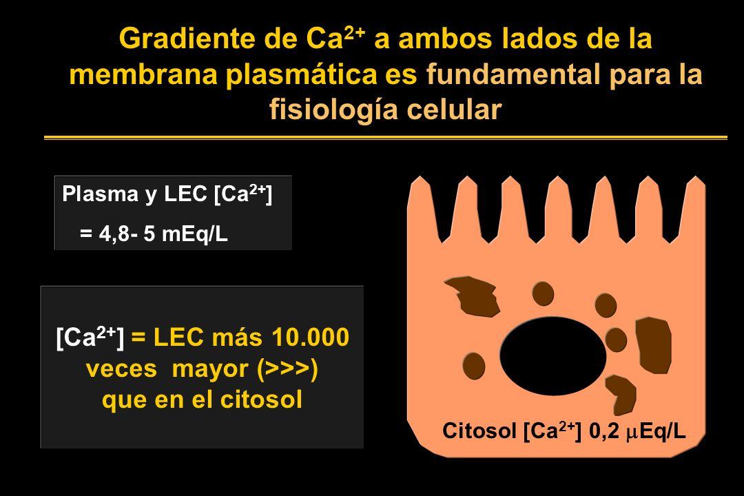 Gradiente de Ca 2+ a ambos lados de la membrana plasmática es fundamental para la fisiología celular Plasma y LEC [Ca 2+ ] = 4,8- 5 mEq/L Citosol [Ca 2+ ] 0,2 Eq/L [Ca 2+ ] = LEC más 10.000 veces mayor (>>>) que en el citosol
