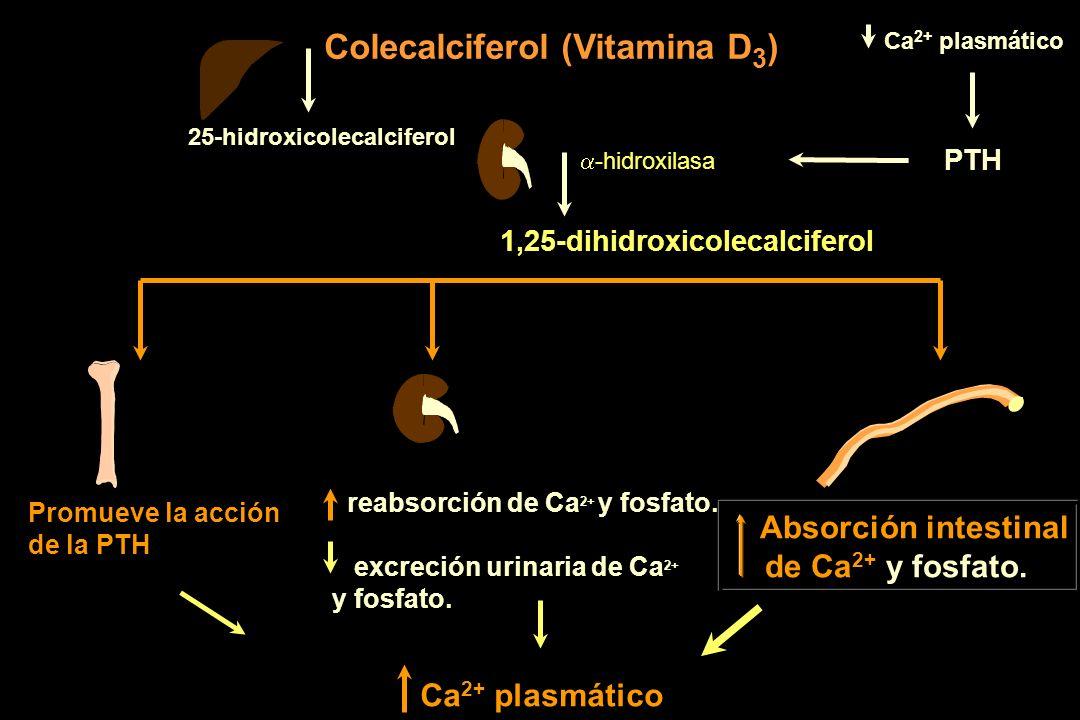 Colecalciferol (Vitamina D 3 ) 25-hidroxicolecalciferol 1,25-dihidroxicolecalciferol Promueve la acción de la PTH reabsorción de Ca 2+ y fosfato. excr