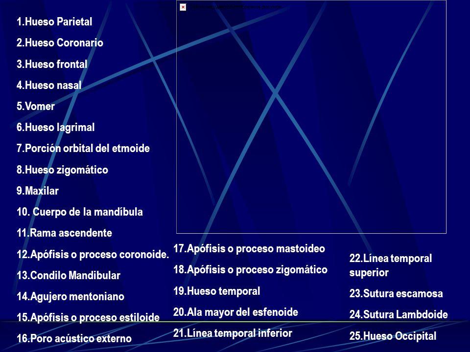 1.Hueso Parietal 2.Hueso Coronario 3.Hueso frontal 4.Hueso nasal 5.Vomer 6.Hueso lagrimal 7.Porción orbital del etmoide 8.Hueso zigomático 9.Maxilar 1