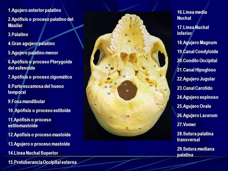 1.Agujero anterior palatino 2.Apófisis o proceso palatino del Maxilar 3.Palatino 4.Gran agujero palatino 5.Agujero palatino menor 6.Apófisis o proceso