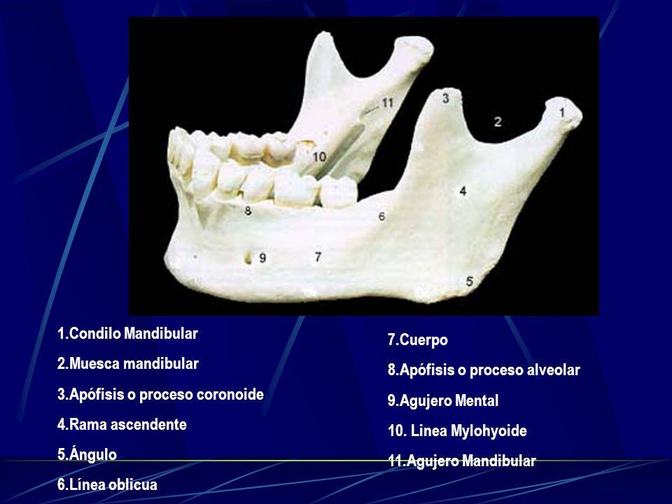 1.Condilo Mandibular 2.Muesca mandibular 3.Apófisis o proceso coronoide 4.Rama ascendente 5.Ángulo 6.Línea oblicua 7.Cuerpo 8.Apófisis o proceso alveo