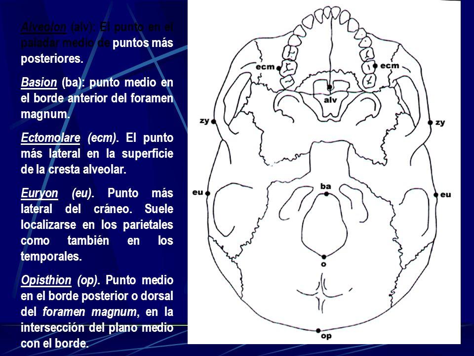 Alveolon (alv): El punto en el paladar medio de puntos más posteriores. Basion (ba): punto medio en el borde anterior del foramen magnum. Ectomolare (