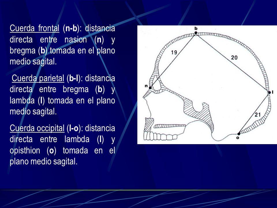 Cuerda frontal ( n-b ): distancia directa entre nasion ( n ) y bregma ( b ) tomada en el plano medio sagital. Cuerda parietal ( b-l ): distancia direc