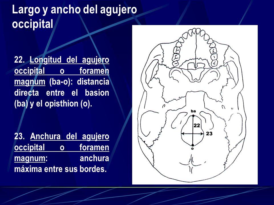 22. Longitud del agujero occipital o foramen magnum (ba-o): distancia directa entre el basion (ba) y el opisthion (o). 23. Anchura del agujero occipit