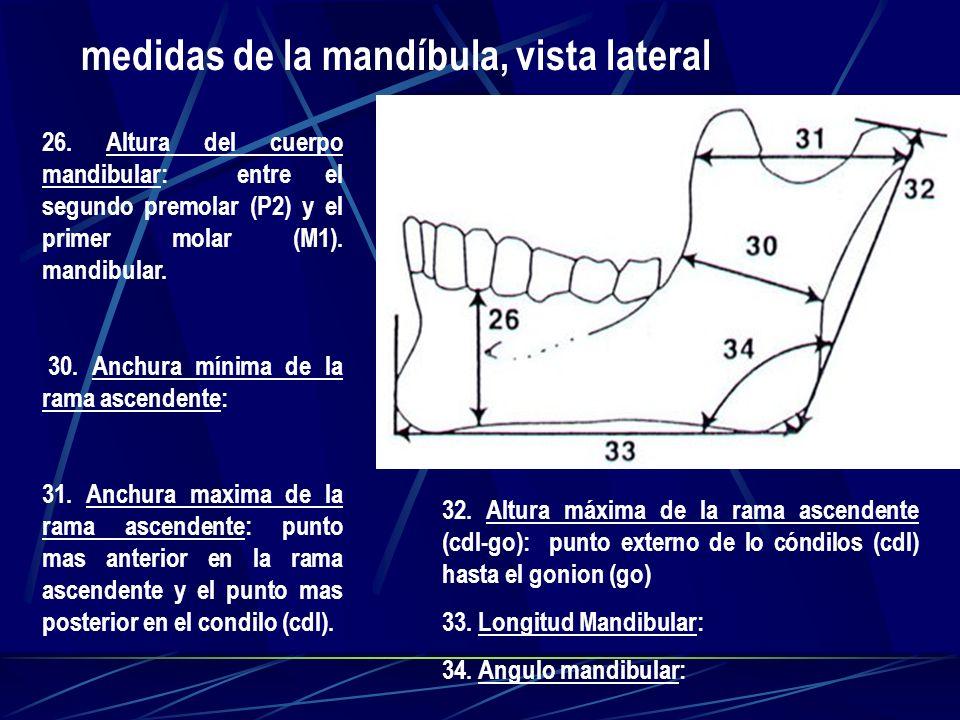26. Altura del cuerpo mandibular: entre el segundo premolar (P2) y el primer molar (M1). mandibular. 30. Anchura mínima de la rama ascendente: 31. Anc