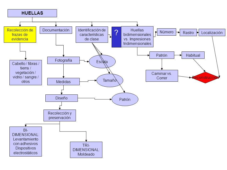 HUELLAS Escala Reconstrucción Recolección de trazas de evidencia Cabello / fibras / tierra / vegetación / vidrio / sangre / otros BI- DIMENSIONAL: Lev