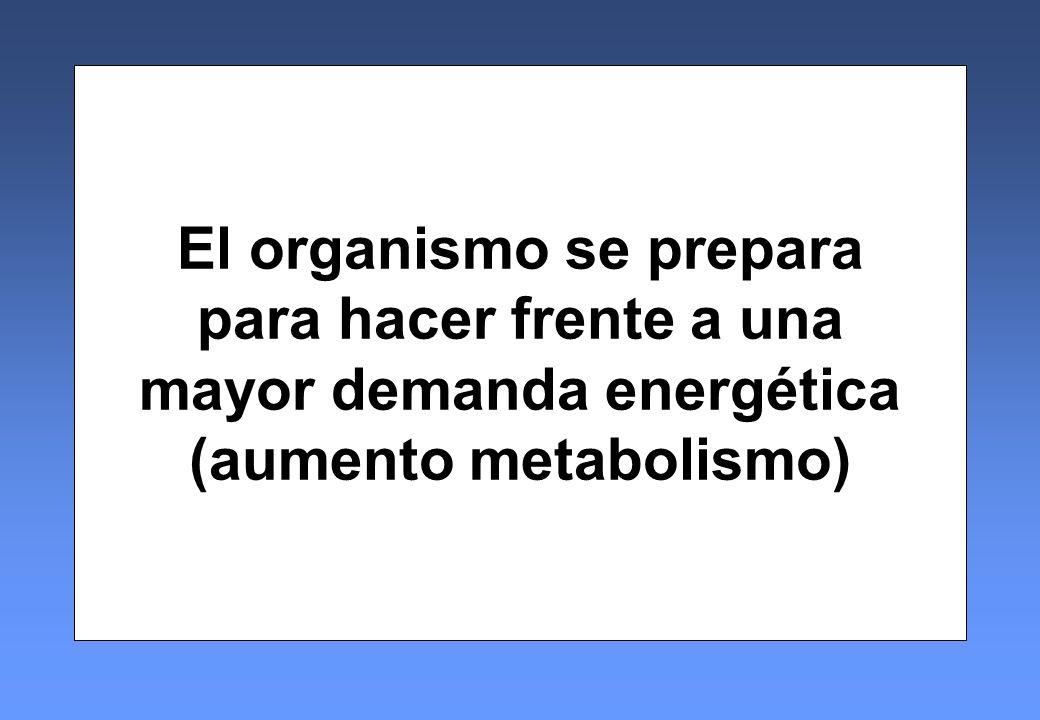 El organismo se prepara para hacer frente a una mayor demanda energética (aumento metabolismo)