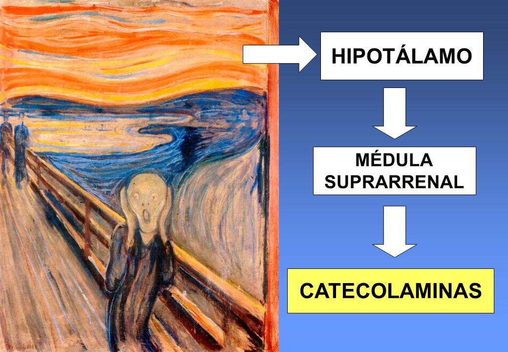 HIPOTÁLAMO MÉDULA SUPRARRENAL CATECOLAMINAS