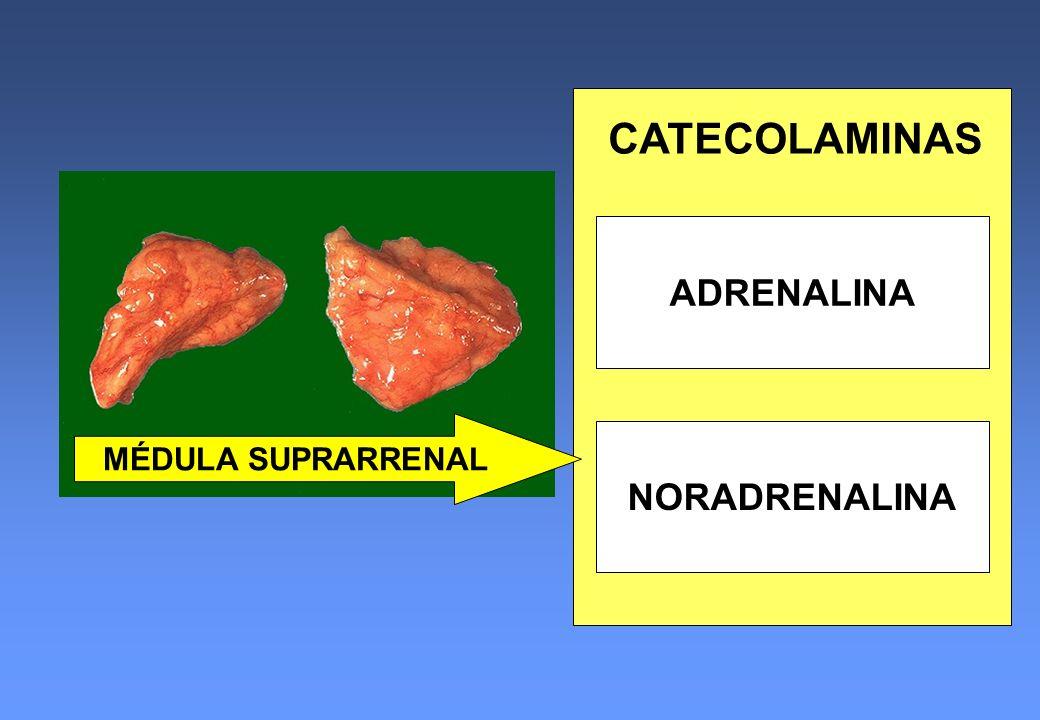 ADRENALINA NORADRENALINA CATECOLAMINAS MÉDULA SUPRARRENAL