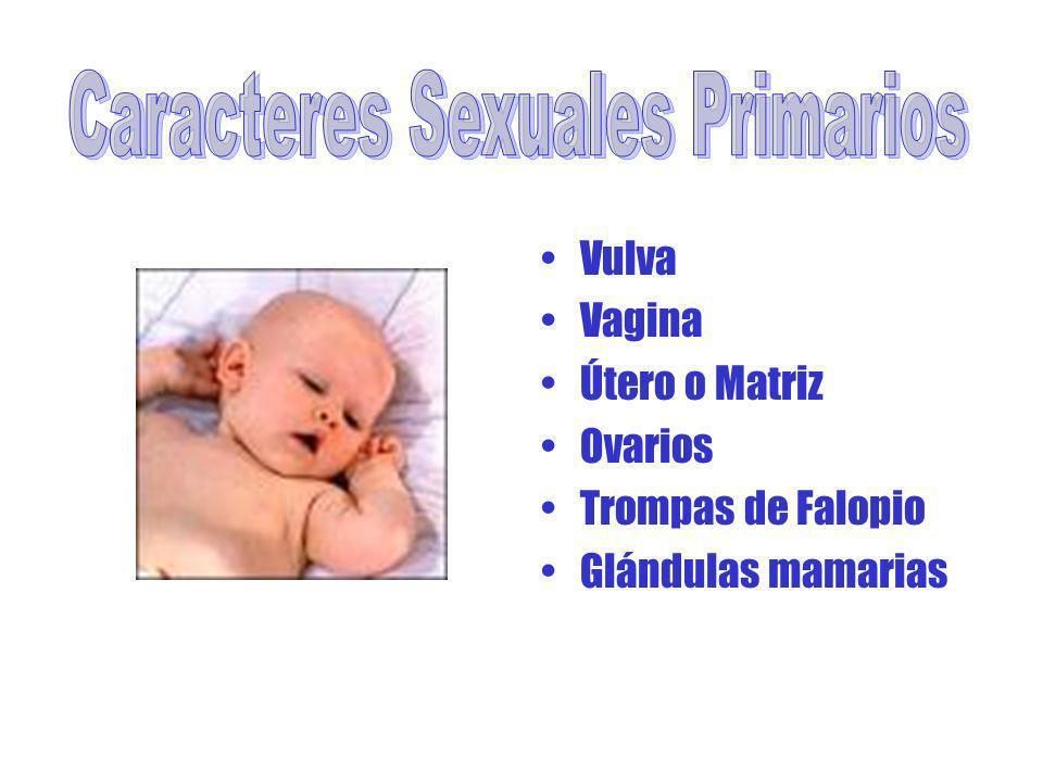 Vulva Vagina Útero o Matriz Ovarios Trompas de Falopio Glándulas mamarias
