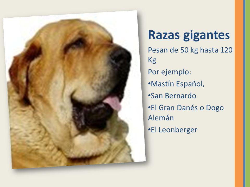 Razas gigante s Pesan de 50 kg hasta 120 Kg Por ejemplo: Mastín Español, San Bernardo El Gran Danés o Dogo Alemán El Leonberger