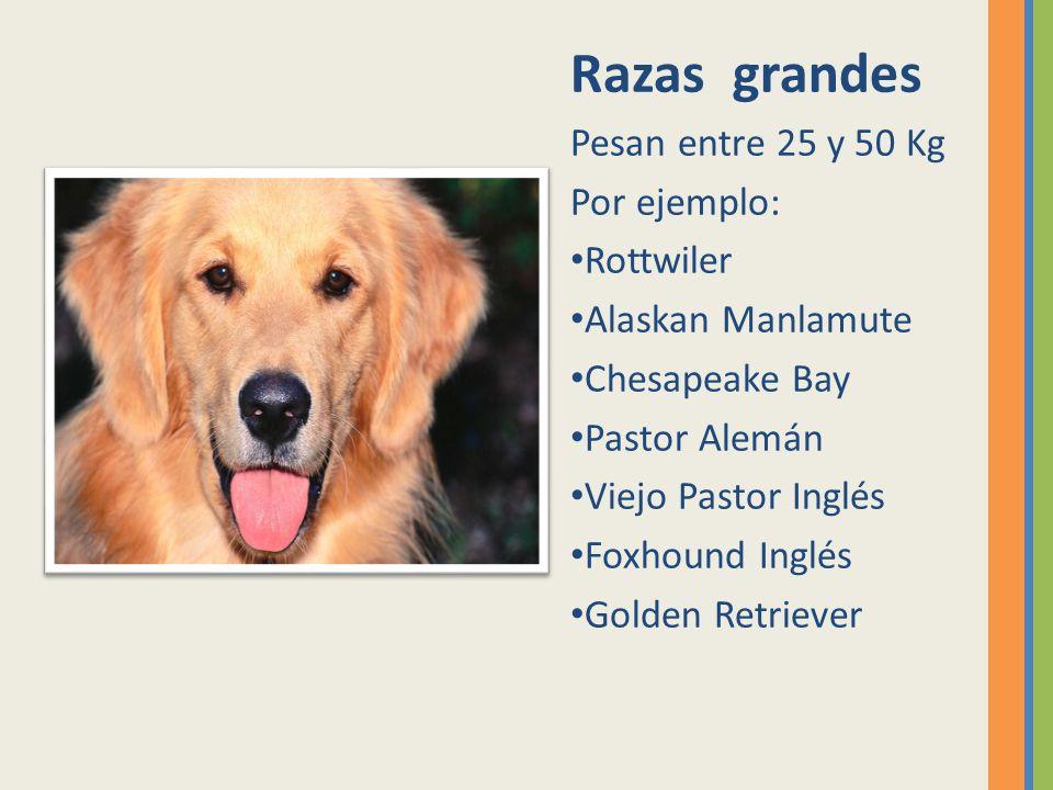 Razas grandes Pesan entre 25 y 50 Kg Por ejemplo: Rottwiler Alaskan Manlamute Chesapeake Bay Pastor Alemán Viejo Pastor Inglés Foxhound Inglés Golden
