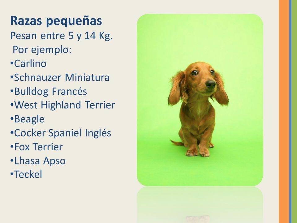 Razas pequeñas Pesan entre 5 y 14 Kg. Por ejemplo: Carlino Schnauzer Miniatura Bulldog Francés West Highland Terrier Beagle Cocker Spaniel Inglés Fox