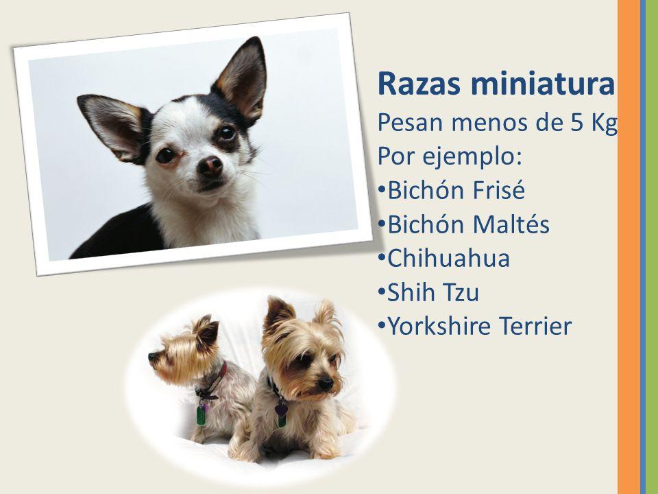 Razas miniatura Pesan menos de 5 Kg Por ejemplo: Bichón Frisé Bichón Maltés Chihuahua Shih Tzu Yorkshire Terrier