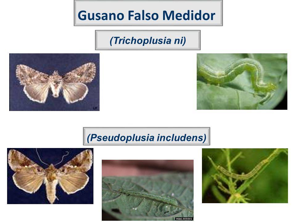 Gusano Falso Medidor (Pseudoplusia includens) (Trichoplusia ni)