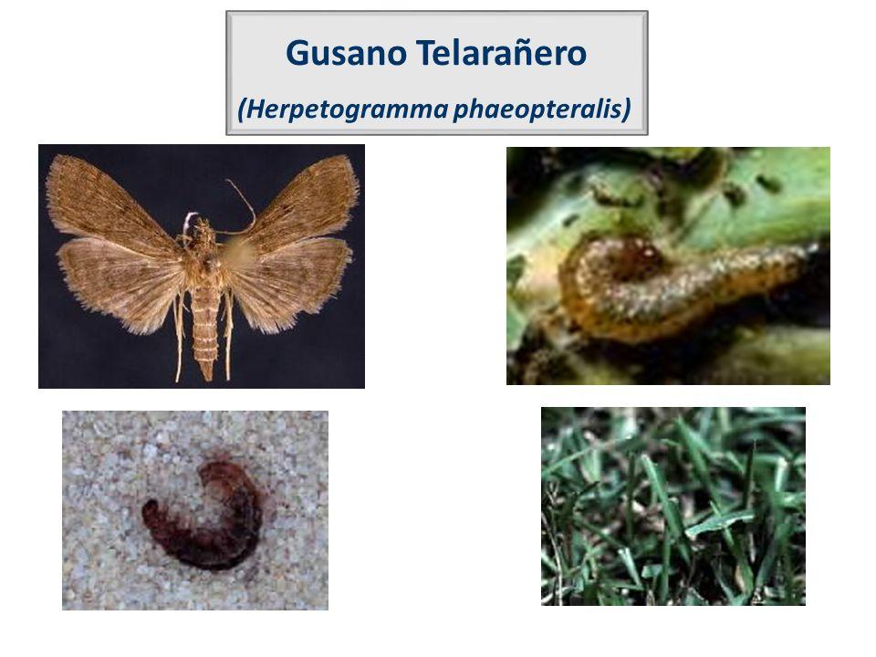 Gusano Telarañero (Herpetogramma phaeopteralis)