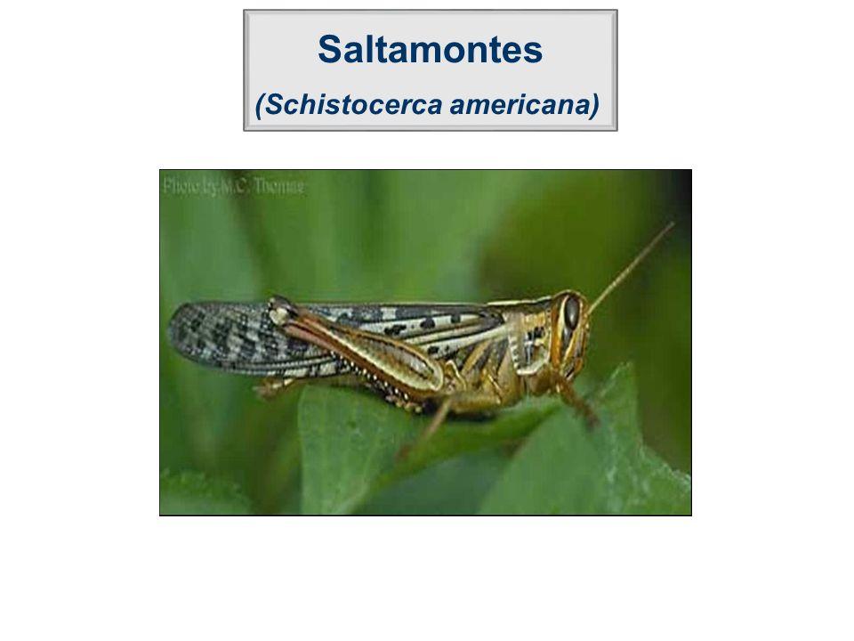 Saltamontes (Schistocerca americana)