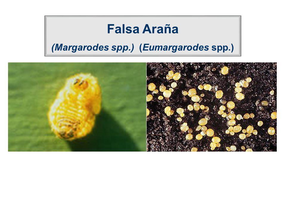 Falsa Araña (Margarodes spp.) (Eumargarodes spp.)