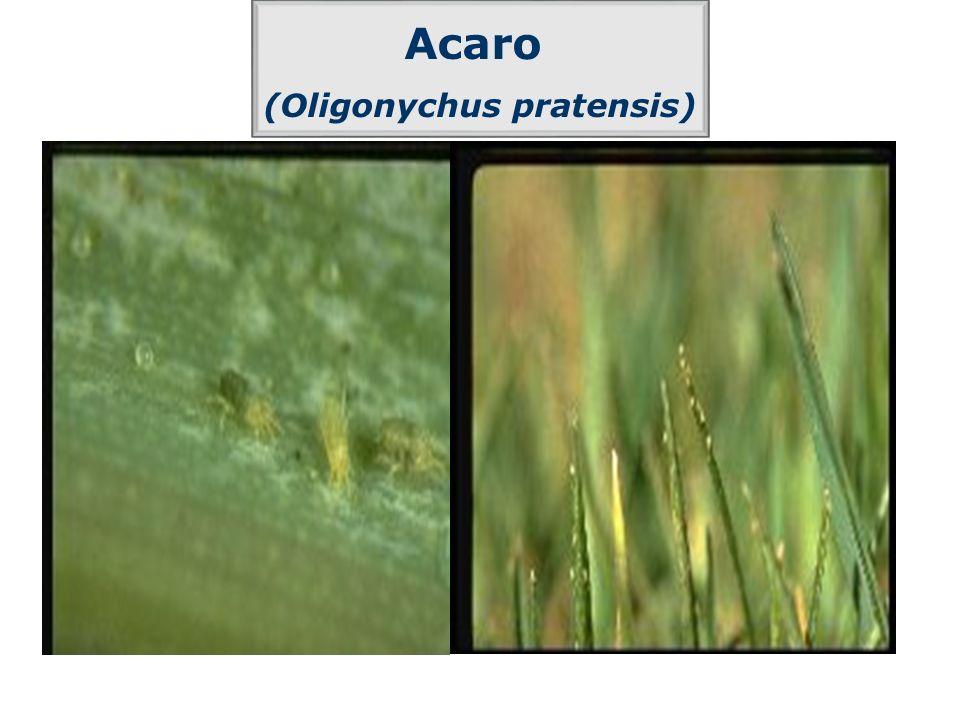 Acaro (Oligonychus pratensis)