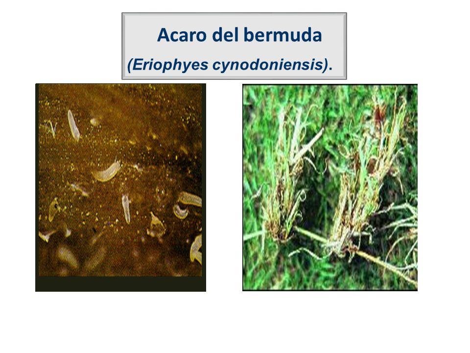 Acaro del bermuda (Eriophyes cynodoniensis).