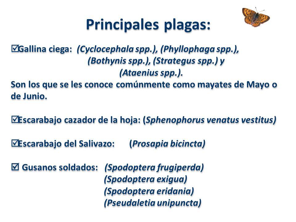 Principales plagas: Gallina ciega: (Cyclocephala spp.), (Phyllophaga spp.), (Bothynis spp.), (Strategus spp.) y (Ataenius spp.). Son los que se les co