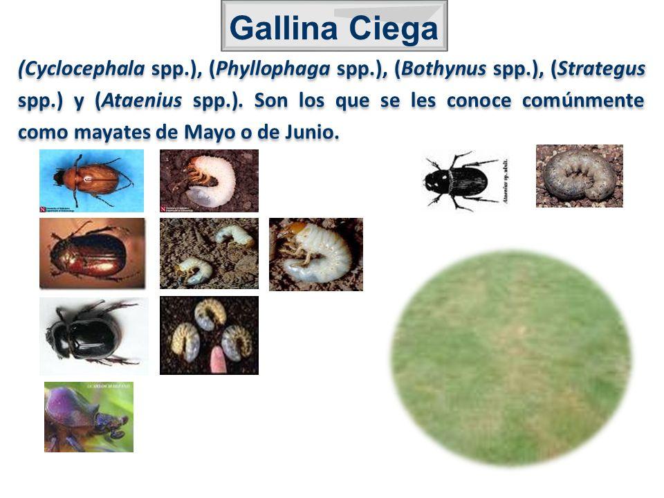 (Cyclocephala spp.), (Phyllophaga spp.), (Bothynus spp.), (Strategus spp.) y (Ataenius spp.). Son los que se les conoce comúnmente como mayates de May
