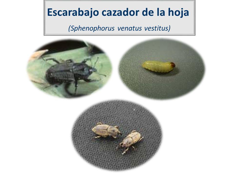 Escarabajo cazador de la hoja (Sphenophorus venatus vestitus)