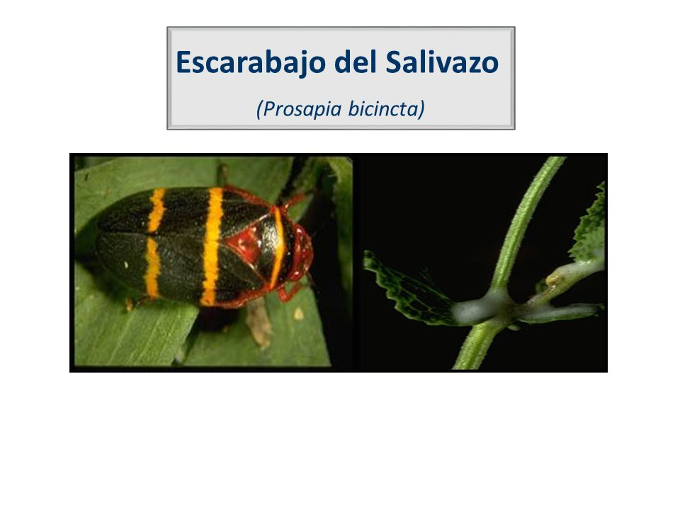 Escarabajo del Salivazo (Prosapia bicincta)