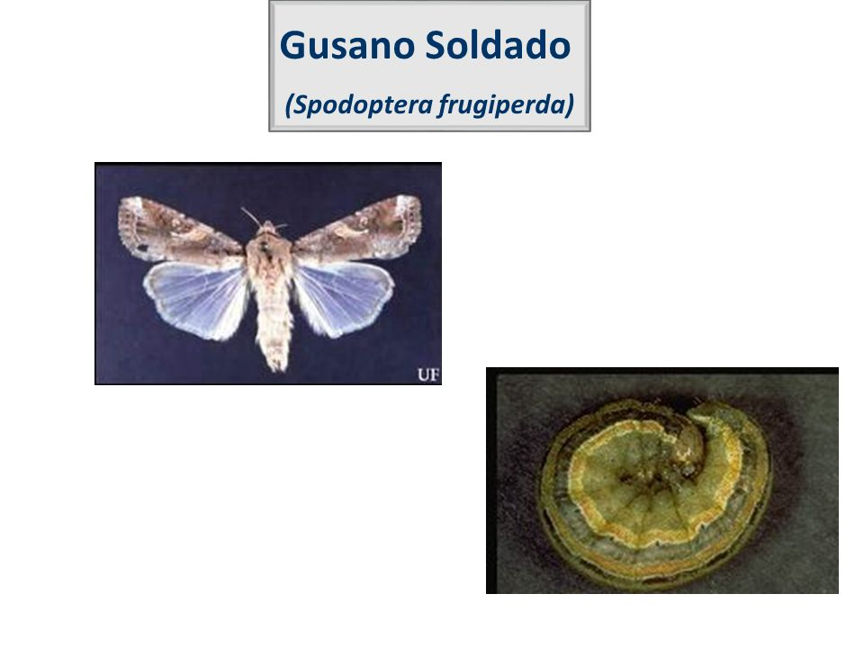 Gusano Soldado (Spodoptera frugiperda)