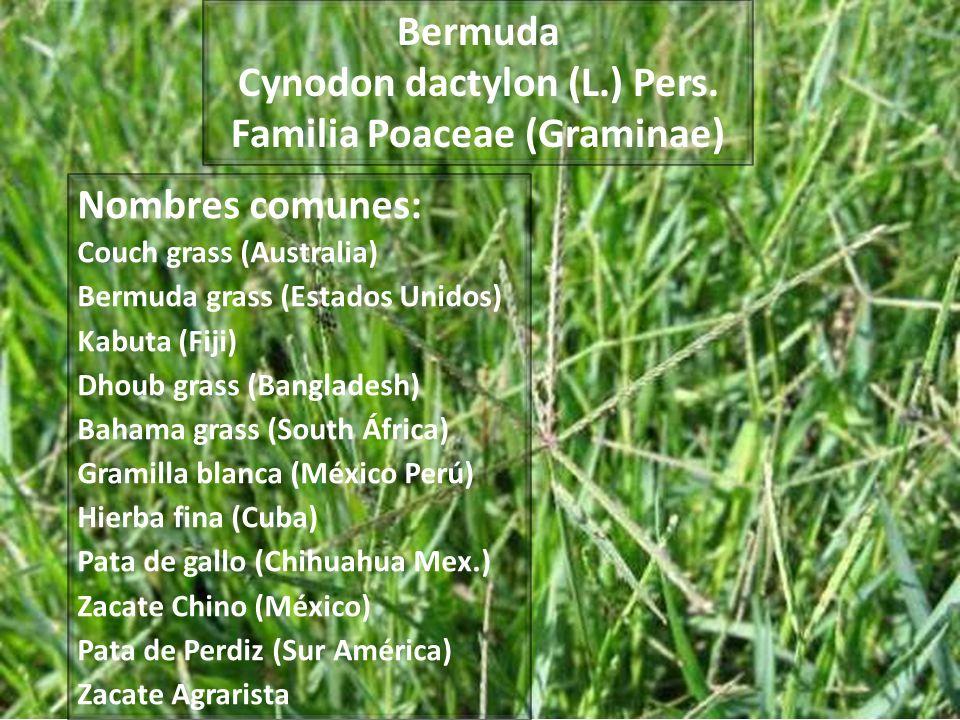 Cynodon: nombre genérico que procede del Griego Kynodon, que significa diente de perro dactylon: nombre genérico que deriva del griego daktylis que significa dedos aludiendo a la forma de la inflorescencia.