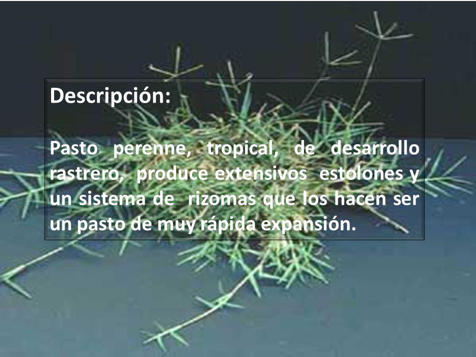 SISTEMA RADICULAR Los rizomas pueden penetrar en el suelo hasta un metro de profundidad o más.