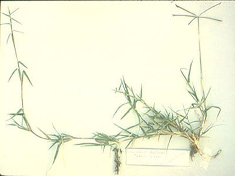 La formación de estolones depende de la luz a través de la síntesis de sacarosa y, cuando esta sustancia se halla en altas concentraciones, los tallos muestran un crecimiento horizontal y, cuando la intensidad es baja, la síntesis de azúcar disminuye y los estolones y los rizomas adoptan un crecimiento en posición erecta.